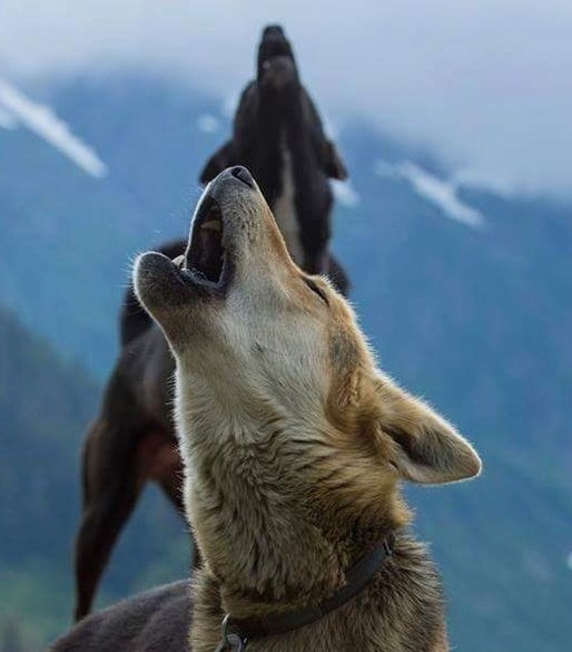 Howl with Us! | Alaska Icefield Expeditions